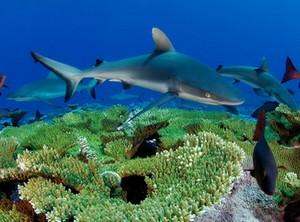 Акулы среди кораллов
