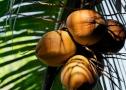 kokosy-1